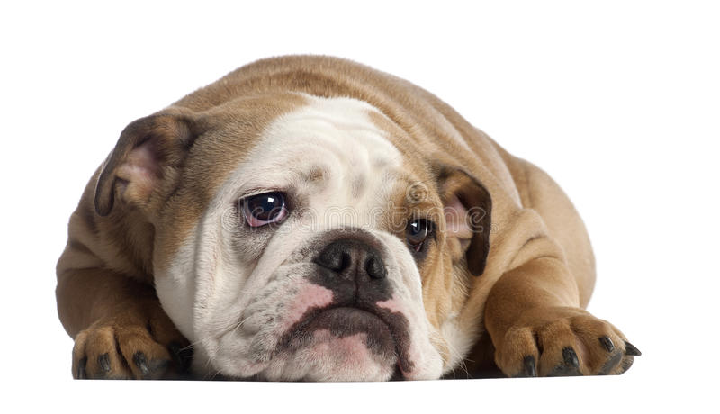 Download English Bulldog, 7 Months Old Stock Image - Image: 24709807