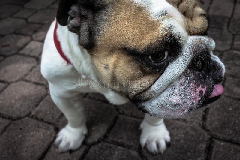 English Bulldog stock photos