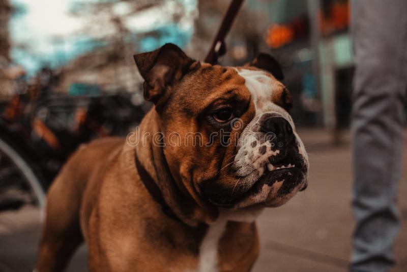 Angry Bulldog Stock Photos - Download 449 Royalty Free Photos