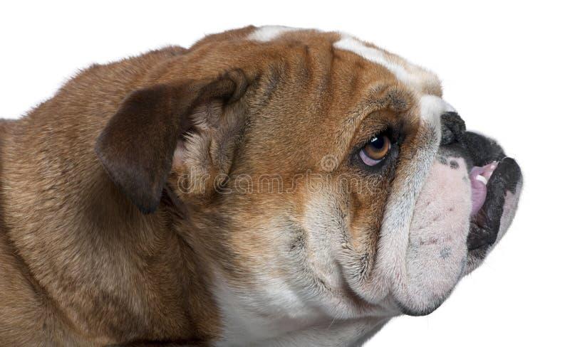 Download English Bulldog Close-up, 18 Months Old, Stock Image - Image: 14886851
