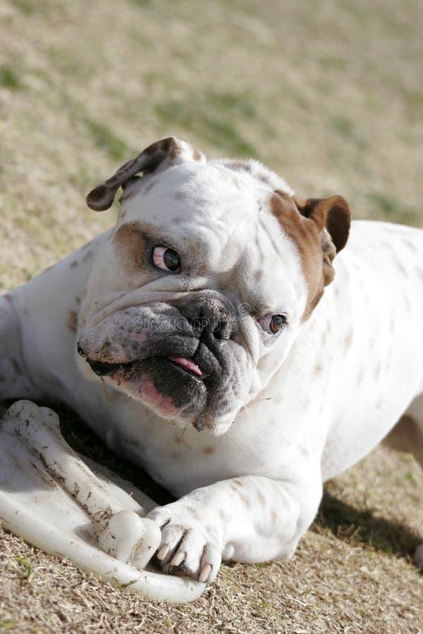 English Bulldog and disk royalty free stock photos