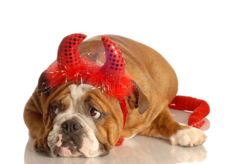 English bulldog dressed as devil stock photography
