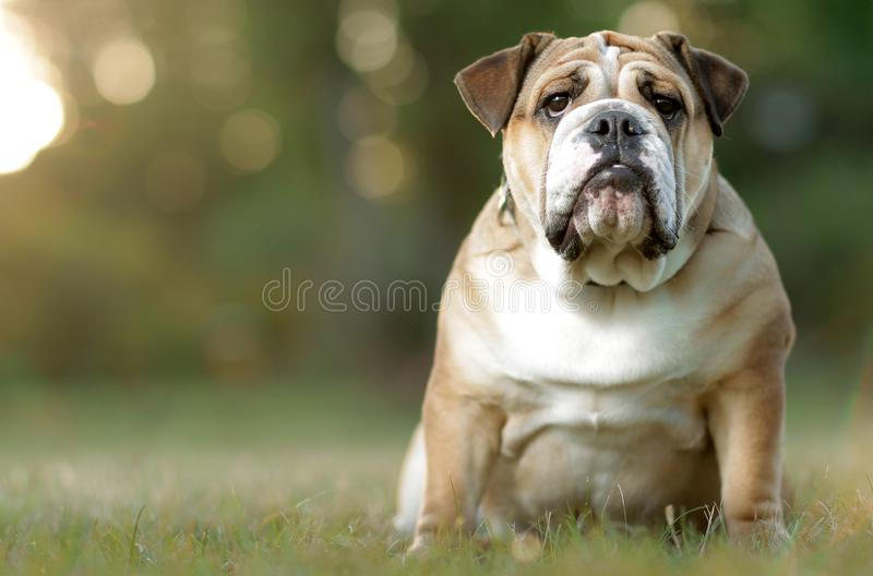 English Bulldog. In the grass, at sunset with expression stock photo