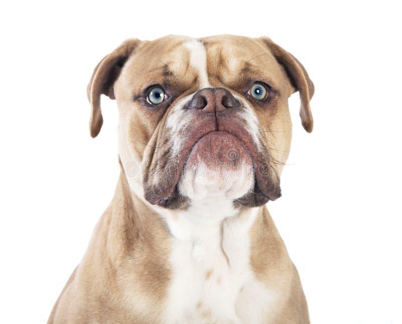 English bulldog head royalty free stock image