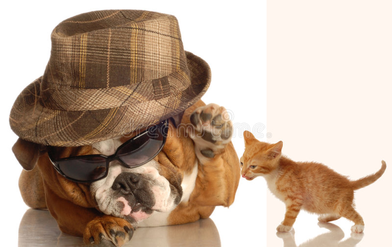 Download English bulldog and kitten stock photo. Image of humor - 6718980