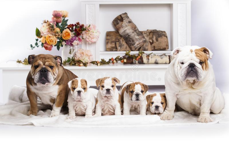 English bulldog litter of puppies, mom and dad. Family english bulldog puppy litter of puppies, mom and dad royalty free stock image