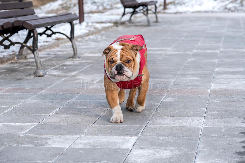 Download English Bulldog In The Park Stock Photo - Image: 83721350