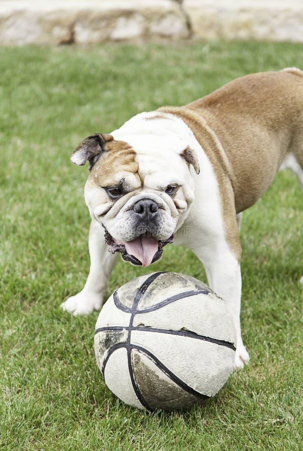 Download Bulldog Ball Adorable Dog - english-bulldog-playing-ball-i-detail-domestic-pet-domesticated-animal-50857762  You Should Have_205035  .jpg