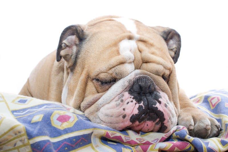 Download English Bulldog portrait stock image. Image of studio - 23875559