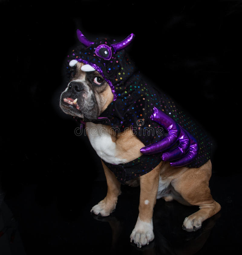 English Bulldog posing as a spider. An English Bulldog dressed up as a spider in his costume for Halloween stock images