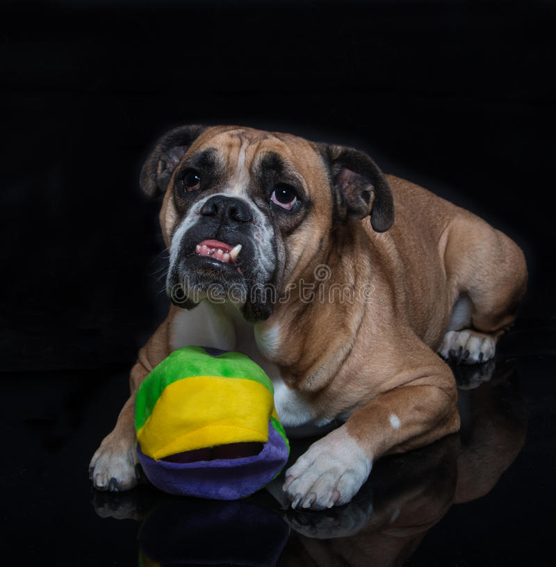 English Bulldog posing with his ball. An English Bulldog on black reflection posing with his ball for a portrait royalty free stock photography