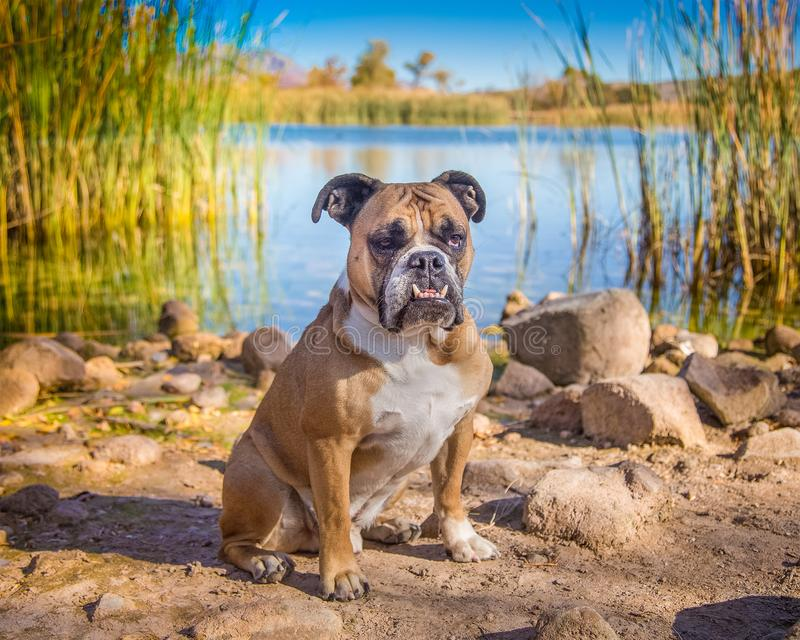 English bulldog posing by a pond with reeds. Bulldog posed for a portrait by a pond in the summer desert sun surrounded by reeds and rocks royalty free stock photo