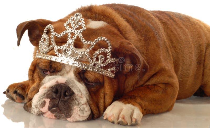 English Bulldog Princess Stock Images