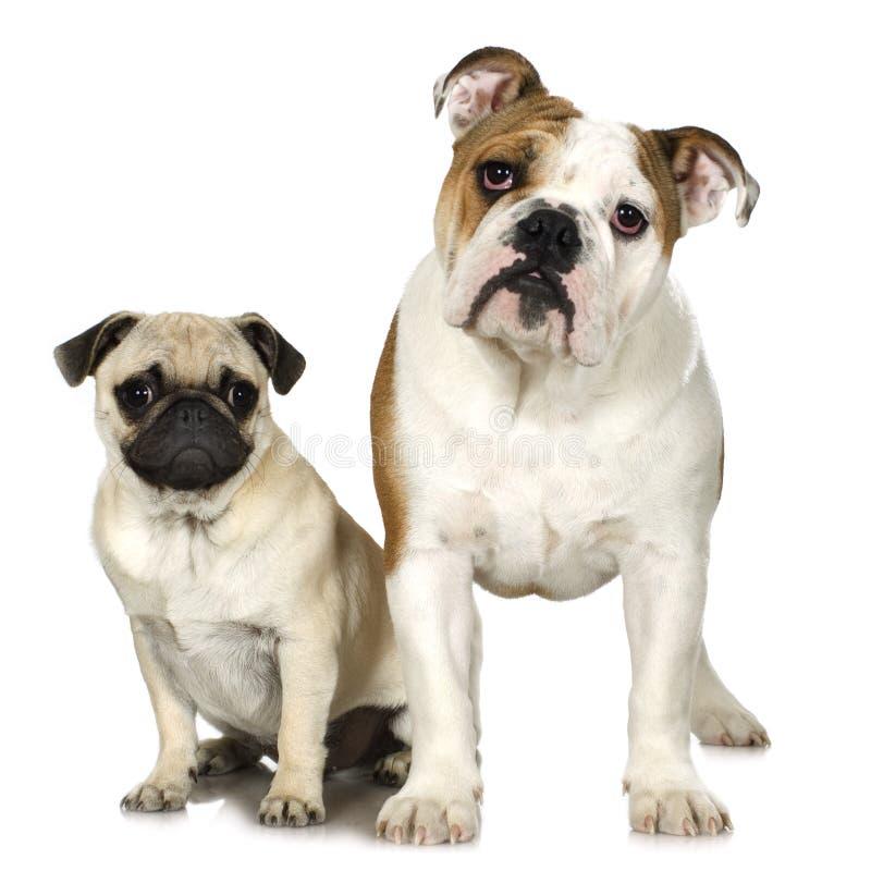 English Bulldog and a pug stock photos