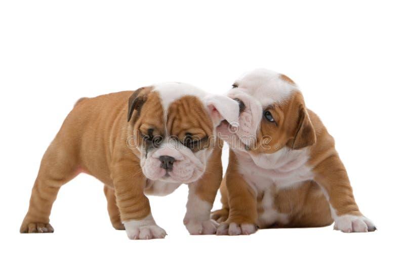 English bulldog puppies royalty free stock photography