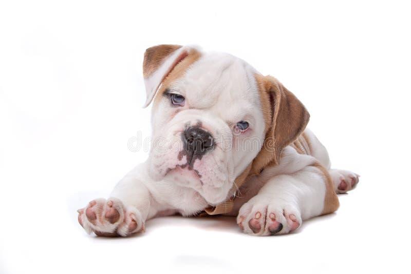 English bulldog puppy stock image