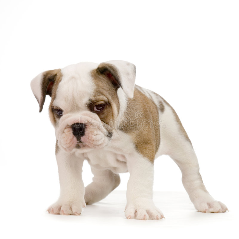 Download English Bulldog Puppy Stock Photo - Image: 2308780