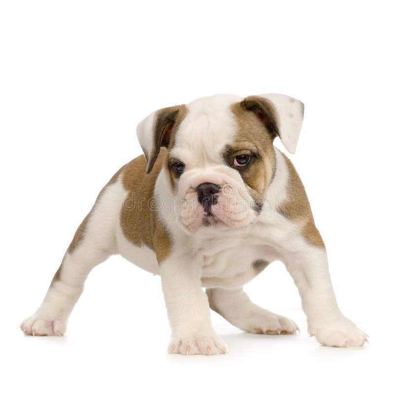 Download English Bulldog puppy stock image. Image of humour, english - 2308783