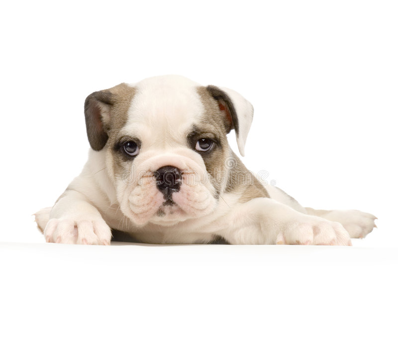 Download English Bulldog Puppy Stock Photo - Image: 2308810