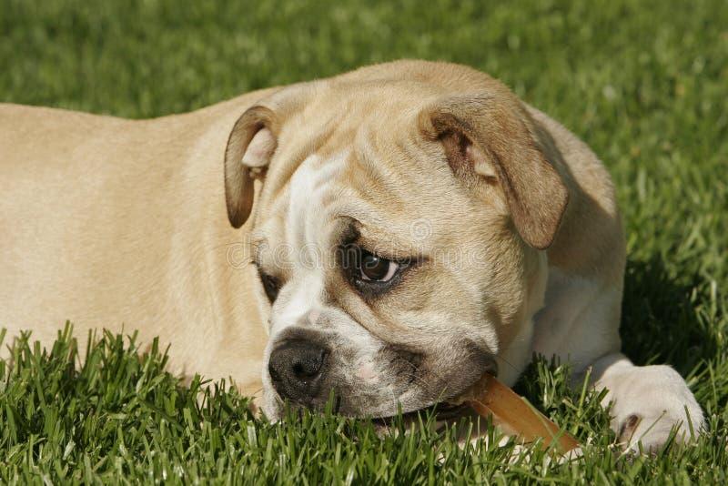 Download English Bulldog Puppy stock photo. Image of green, cute - 9382114