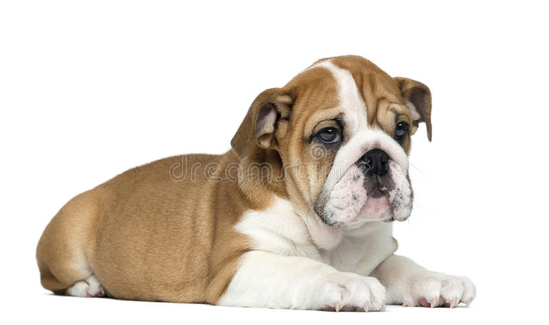 English Bulldog Puppy lying, 2 months old stock image