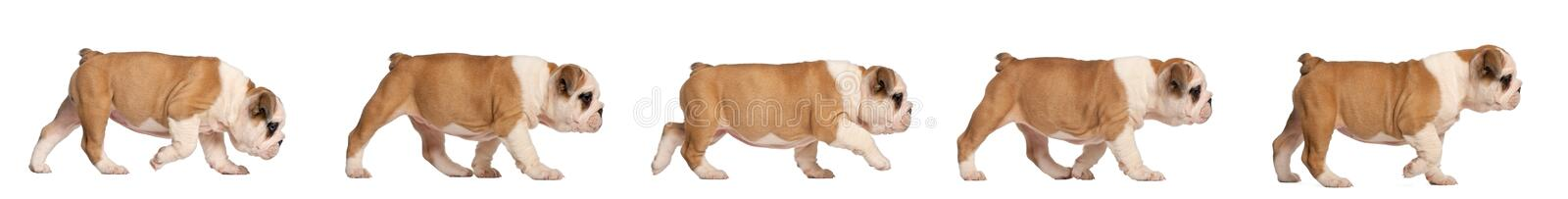 English Bulldog puppy tracking, 2 months old stock photos