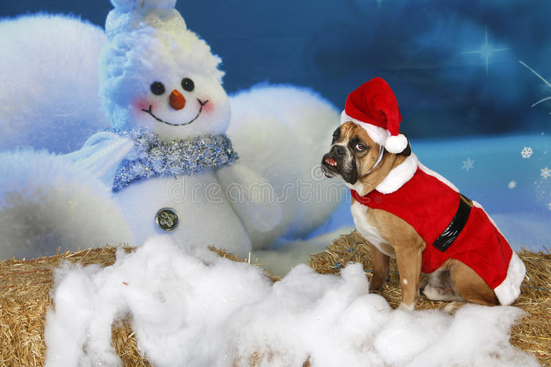English Bulldog in Santa Suit. An English Bulldog in a Santa Suit posed for his cute Holiday setting portrait stock photos