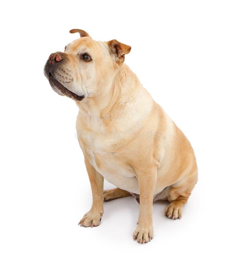English Bulldog and Shar-Pei Mixed Breed Dog royalty free stock photos