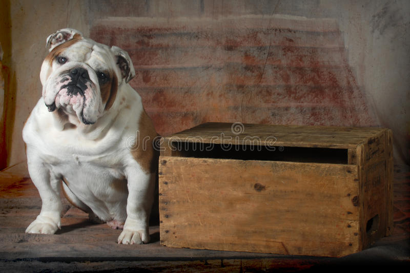English bulldog. Sitting looking at viewer - 4 year old male stock photography