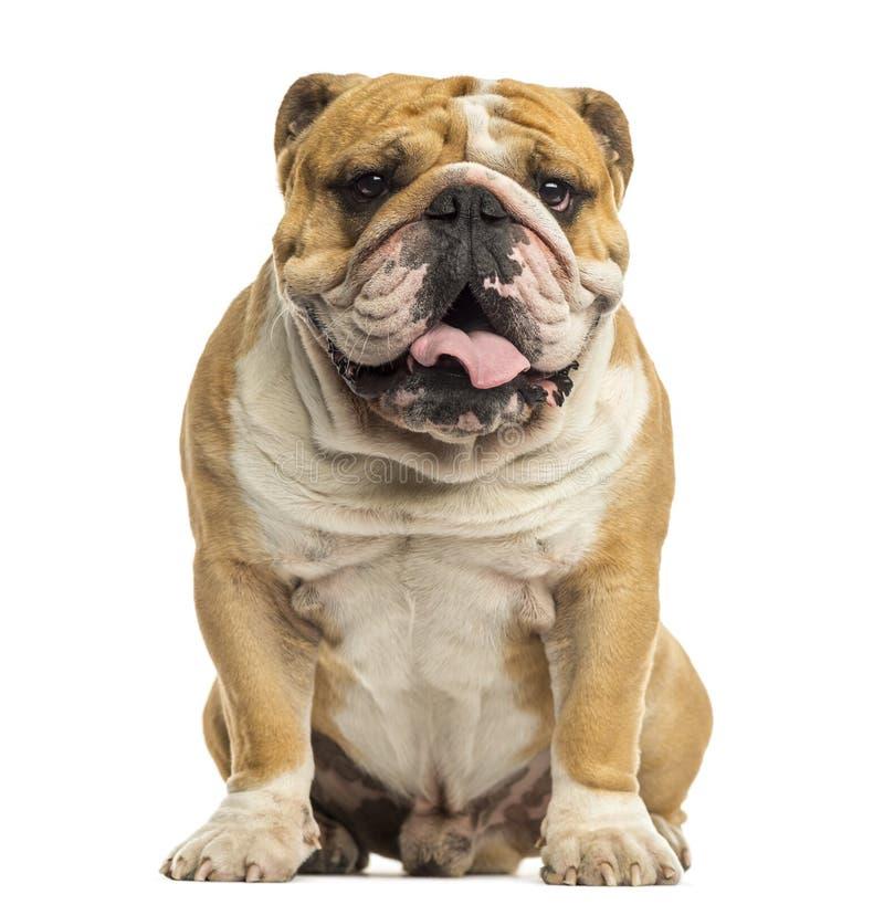 Free English Bulldog Sitting, Panting, Isolated Stock Photo - 34778130