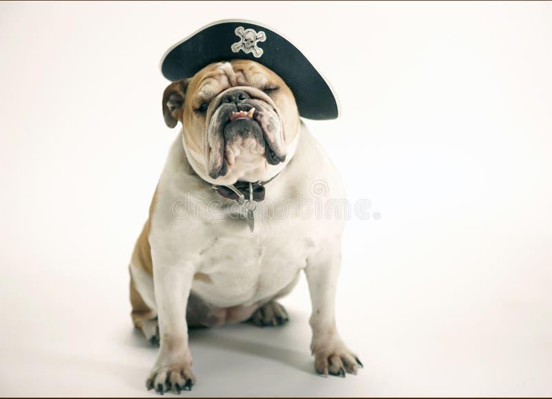 English Bulldog wearing a pirate hat stock photos