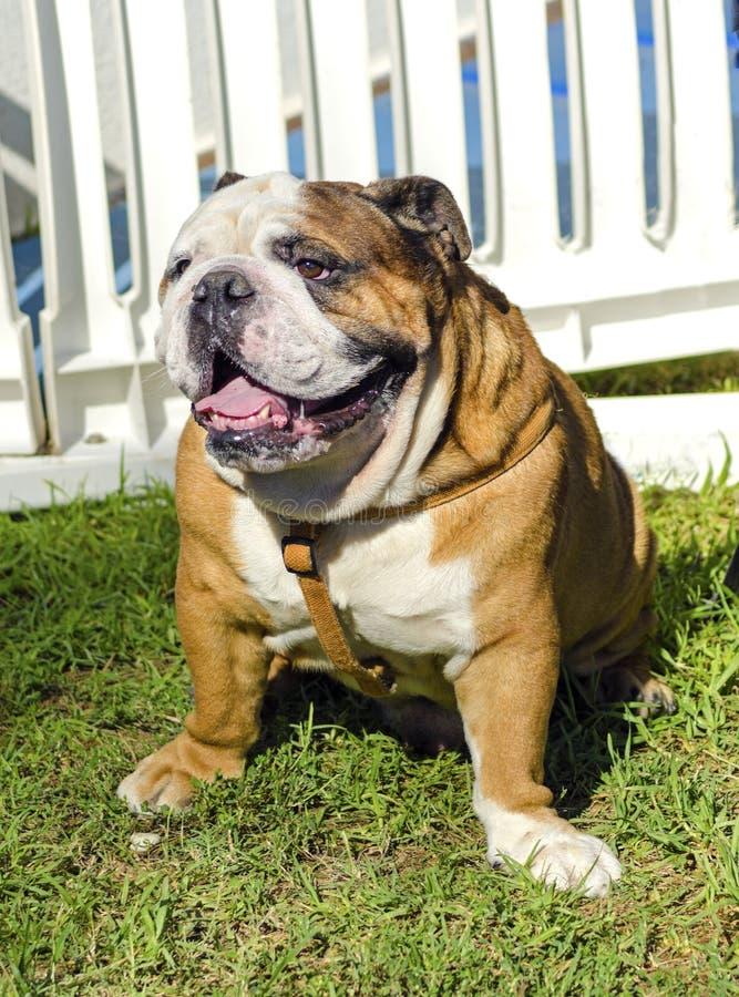 english bulldog royalty free stock images image 34293309. Black Bedroom Furniture Sets. Home Design Ideas