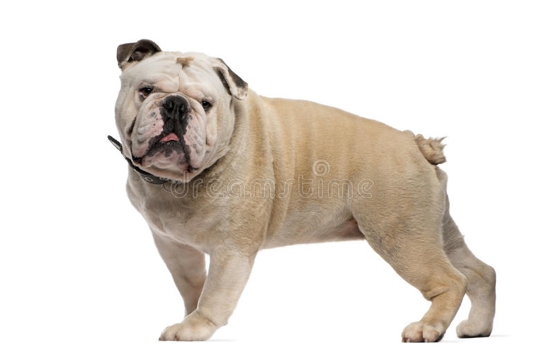 English Bulldog standing in front of a white backg. English Bulldog (3 years old) standing in front of a white background royalty free stock images