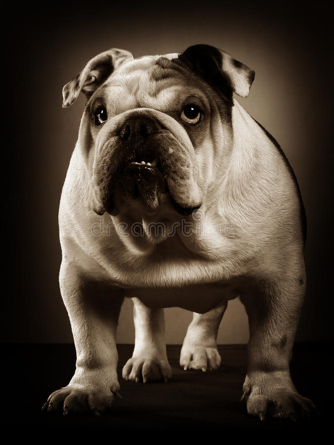 English bulldog studio portrait royalty free stock photography