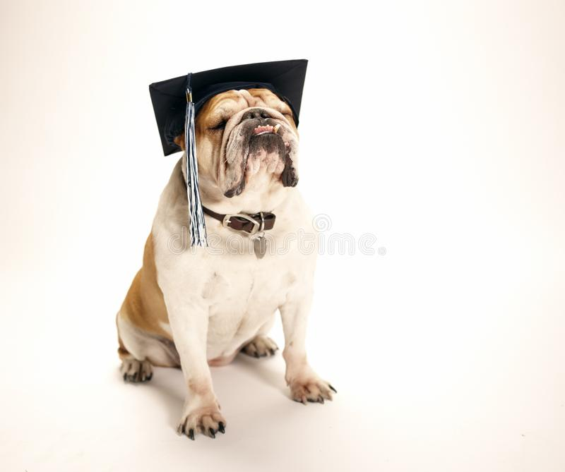 English Bulldog wearing a graduation cap with tassel. English Bulldog sitting on a white background wearing a graduation cap with a tassel hanging to the side stock images