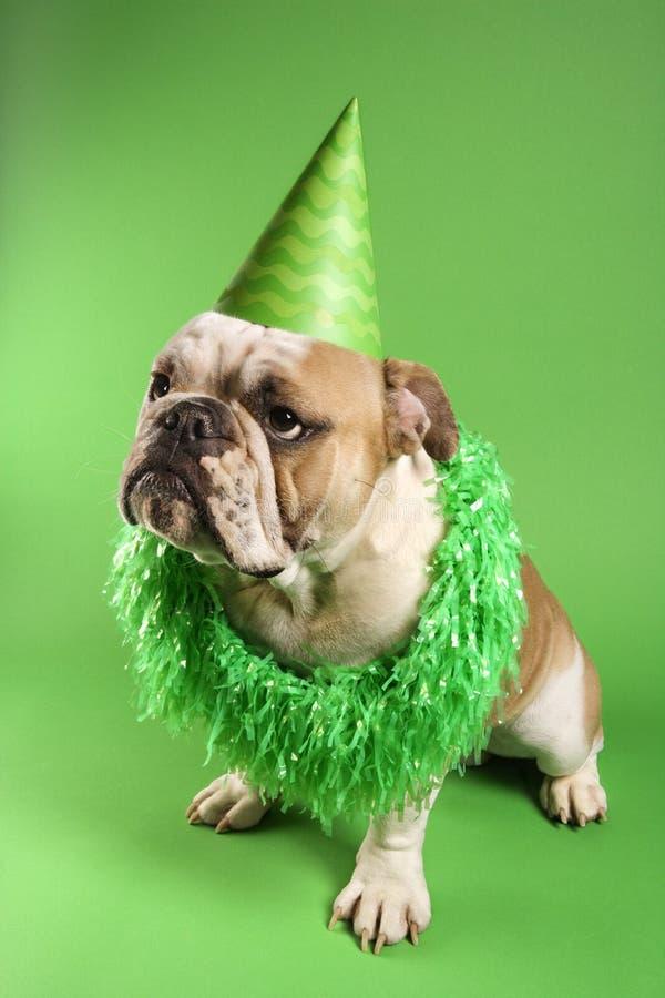 English Bulldog wearing lei.