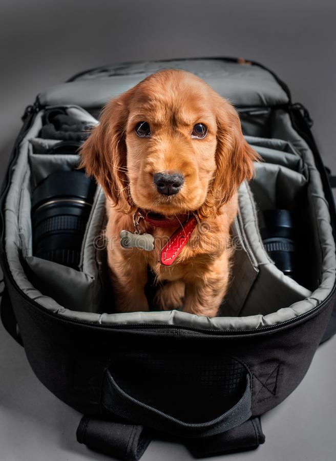 English cocer spaniel dog sleep in photographer backpack with lens royalty free stock photography