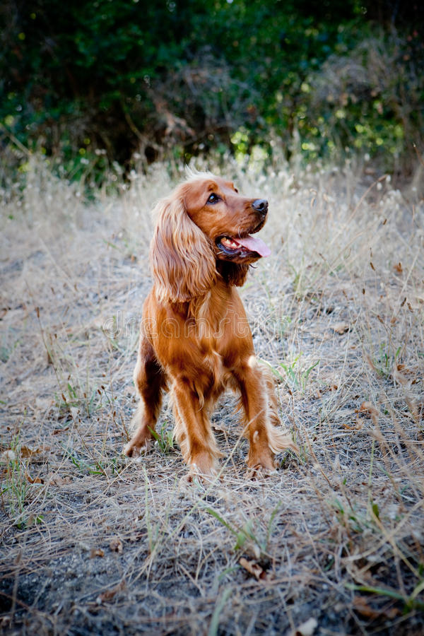 English Cocker Spaniel. A beautiful English Cocker Spaniel in the forest stock photo