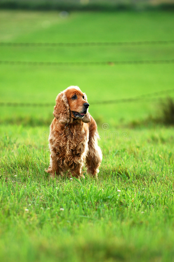 English Cocker Spaniel. A golden English Cocker Spaniel standing in a field of green grass royalty free stock images