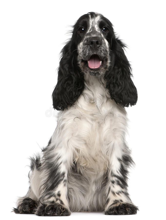 English Cocker Spaniel, 2 years old, sitting. In front of white background stock photo