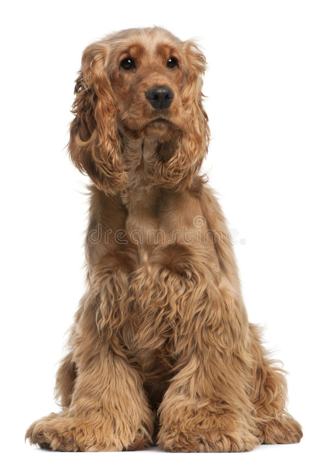 English Cocker Spaniel, 2 years old, sitting. In front of white background stock image