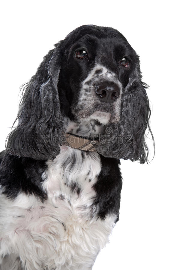 Download English cocker spaniel stock image. Image of doggy, front - 25082235