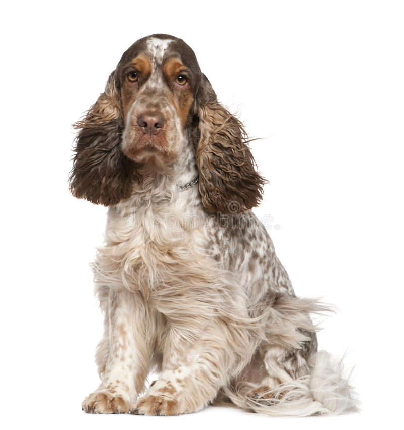 English Cocker Spaniel, 30 months old, sitting stock images