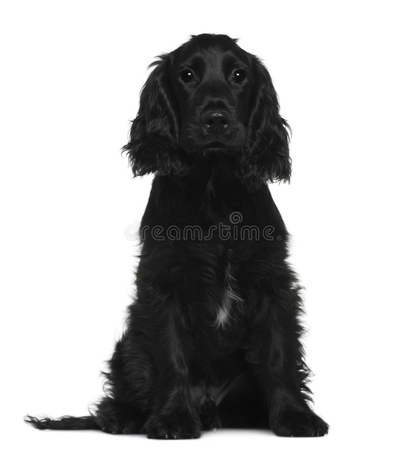 English Cocker Spaniel, 5 months old, sitting royalty free stock image