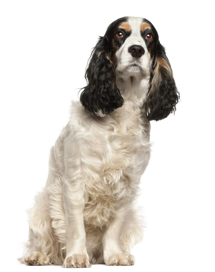 English Cocker Spaniel, 6 years old, sitting. In front of white background royalty free stock image
