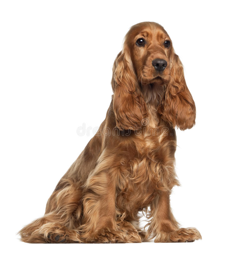 English cocker spaniel, 9 months old, sitting. Against white background royalty free stock photos
