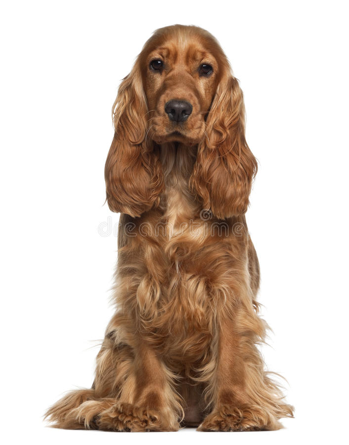 English cocker spaniel, 9 months old, sitting. Against white background stock photo