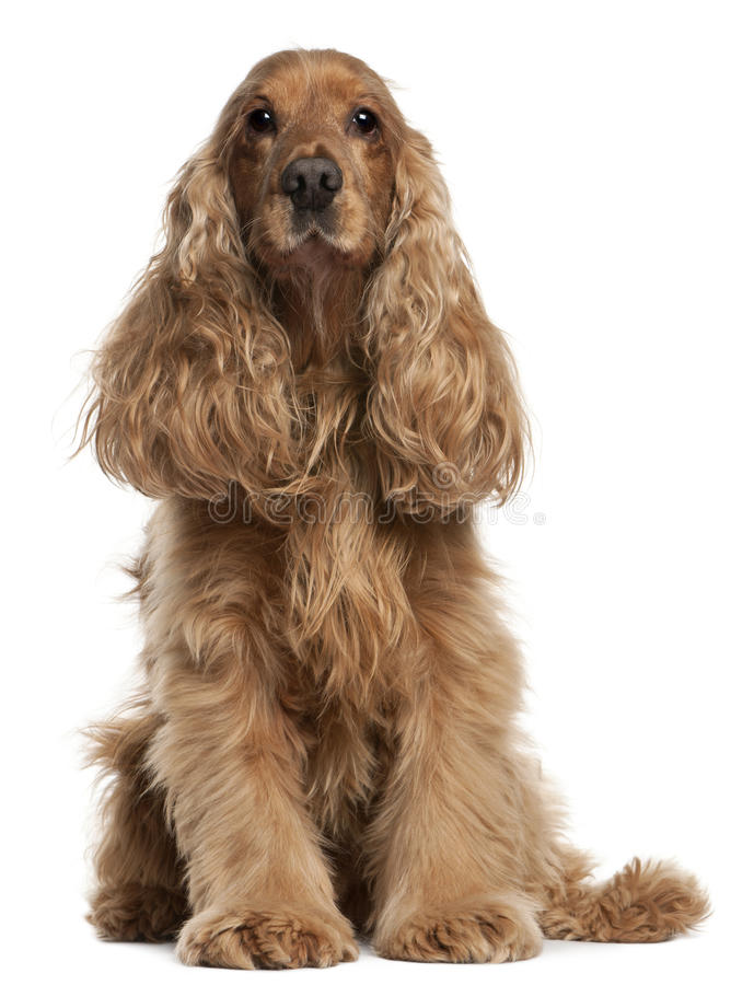 English Cocker Spaniel, 9 years old, sitting. In front of white background stock images