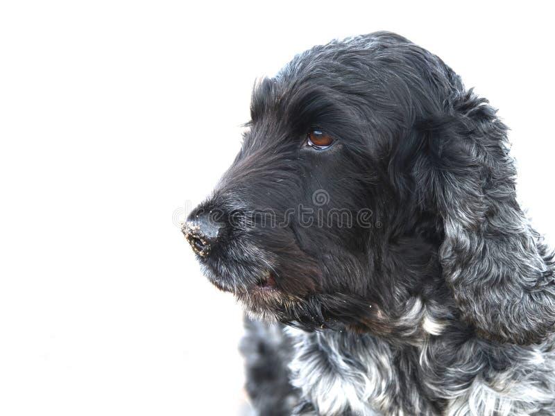 Download English Cocker Spaniel Blue Roan Stock Image - Image: 31800977