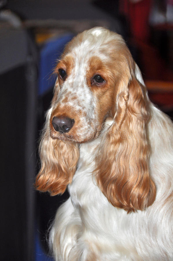 Download English Cocker Spaniel dog stock photo. Image of look - 39513380